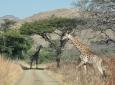Hluhluwe Game Reserve - Giraffe