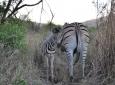 Hluhluwe Game Reserve - Zebra